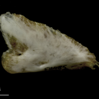 European conger for assessment lateral view