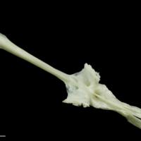 Freshwater bream parasphenoid dorsal view