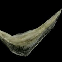 Common pandora preopercular lateral view