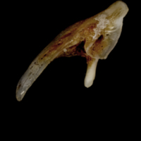 Sea scorpion posttemporal medial view