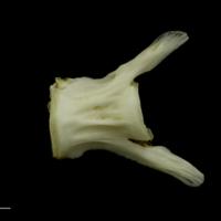 Grey Triggerfish caudal vertebra lateral view