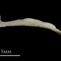 European eel premaxilla lateral view