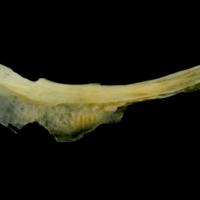 Gilthead seabream preopercular lateral view