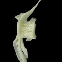 Pollack precaudal vertebra lateral view