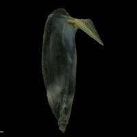 Black seabream subopercular lateral view