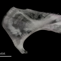Parrot fish ceratohyal medial view