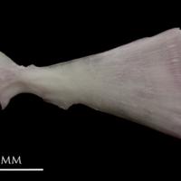 Parrot fish ultimate vertebra lateral view
