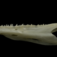 Zander dentary lateral view