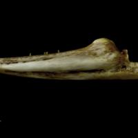 European conger dentary lateral view