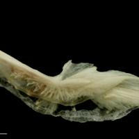 Haddock preopercular lateral view