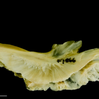 Atlantic cod preopercular lateral view
