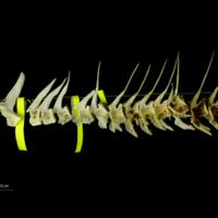 Saithe precaudal vertebra lateral view