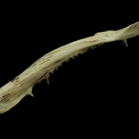 Atlantic salmon maxilla medial view