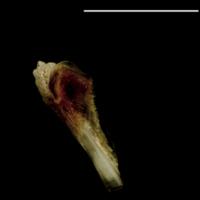 Turbot pharyngeal dorsal view