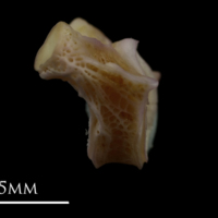 Tub gurnard first vertebra lateral view