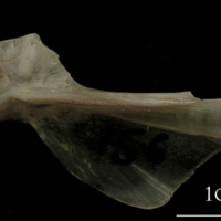 Turbot hyomandibular lateral view