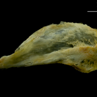 Saithe subopercular lateral view
