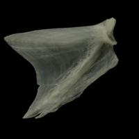 Burbot opercular medial view