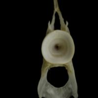 Zander precaudal vertebra anterior view