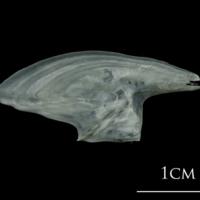 European plaice subopercular lateral view