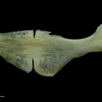 European seabass ceratohyal epihyal complex medial view