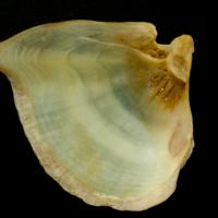 Thinlip grey mullet  opercular medial view