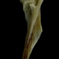 Red gurnard hyomandibular lateral view