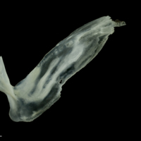 European seabass subopercular lateral view