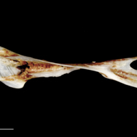 Sea scorpion cleithrum dorsal view