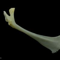 European seabass maxilla medial view