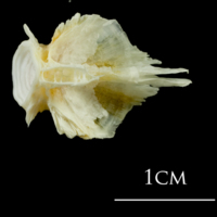 European plaice basioccipital ventral view