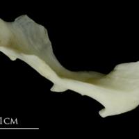 Grey Triggerfish maxilla medial view