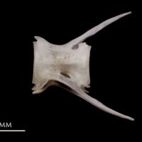 Red seabream caudal vertebra lateral view