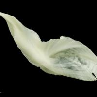 Freshwater bream cleithrum dorsal view