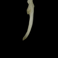 Eelpout for assessment lateral view