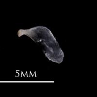 European eel opercular lateral view
