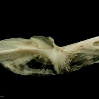 Haddock preopercular medial view