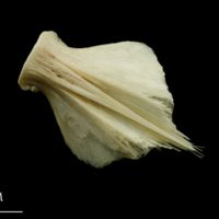 Haddock basioccipital ventral view