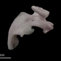 Parrot fish maxilla medial view