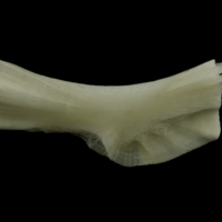 Burbot ceratohyal lateral view