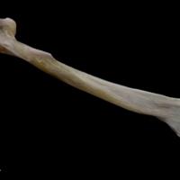 Tub gurnard maxilla lateral view