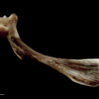 Atlantic halibut maxilla medial view