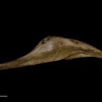 Greater amberjack pharyngeal ventral view