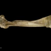 Greater amberjack maxilla medial view