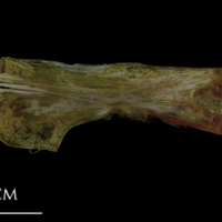 Spanish mackerel ceratohyal medial view