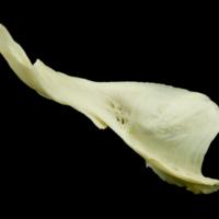 Common carp cleithrum dorsal view