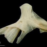 Haddock hyomandibular lateral view