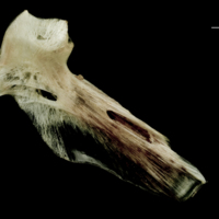 Atlantic halibut hyomandibular medial view