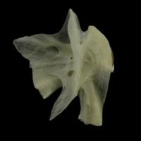 Burbot hyomandibular lateral view