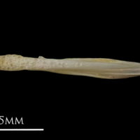 European eel vomer ventral view